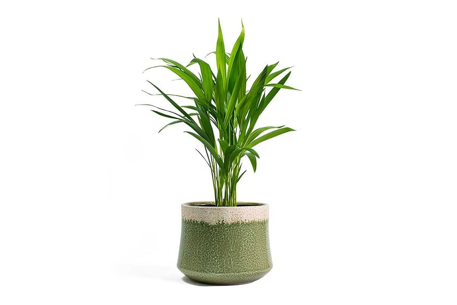 گیاه نخل اریکا